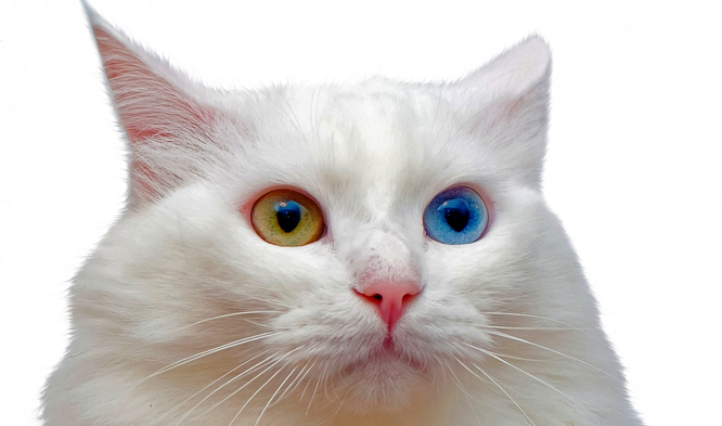El felino con ojos de dos colores que no teme al agua | Zen | EL MUNDO