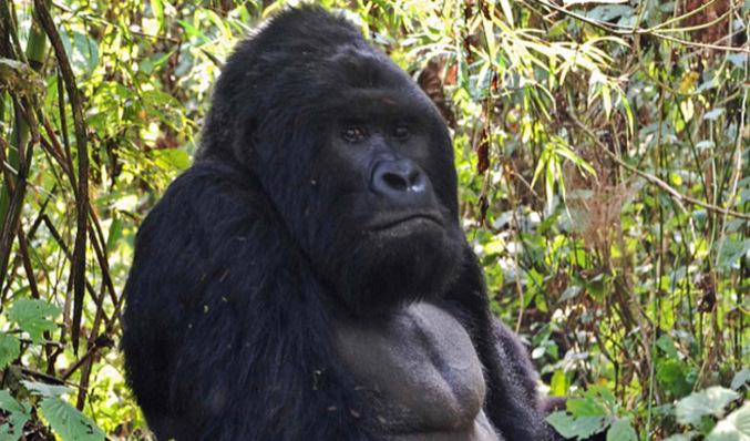 ef8d07b5466d El gorila más grande del mundo
