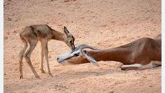 Una gacela de especie extinta nace en el BIOPARC de Valencia