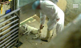 El crudo dolor de los corderos de este matadero de Segovia