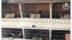 La Policía Municipal requisa 18 gallos de pelea en un criadero ilegal