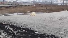 Un oso polar busca comida en un vertedero de la ciudad más contaminada de Rusia