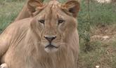 Una pareja de Olot vive con un león