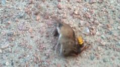El ataque mortal de un avispón gigante a un ratón