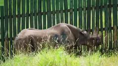 Muere Fausta, la rinoceronte más anciana del planeta