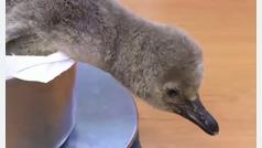 Nace en el zoo de Praga un pingüino de Humboldt
