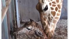 Nace una jirafa en el zoo de Perth