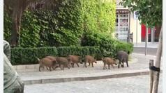 Una jabalí y sus nueve crías a sus anchas en Torrelodones