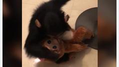 A este chimpancé no le gustan las imitaciones
