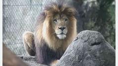Una leona mata al padre de sus cachorros en un zoo