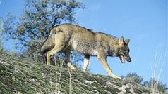 Lobos en Madrid