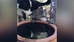 La amistad entre un koala sediento y un perro que ha conquistado internet