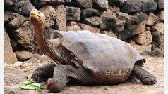 Diego, la tortuga que tuvo 800 hijos