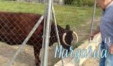 Campaña para salvar a la vaca Margarita