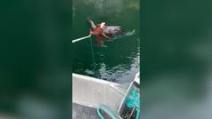 Rescatan a un águila atrapada por un pulpo en Canadá