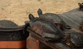 Las 300 tortugas abandonadas en Atocha dejan el estanque