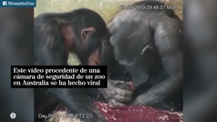 El cuidado y la curiosidad de dos chimpancés con su cría revoluciona las redes