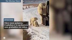 Graban a diez osos polares en el momento que asedian un camión de basura buscando comida