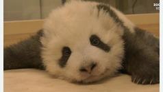 Oso panda con hipo en el zoo de Berlín