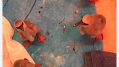 Rescatan a estos polluelos de flamenco que iban a morir