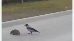 Un cuervo ayuda a un erizo a cruzar la carretera