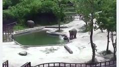 Angustioso rescate de un elefante en el Zoo de Seúl