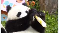 Celebran el cumpleaños de 18 osos panda