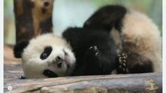Se busca nombre para esta pequeña cría de panda