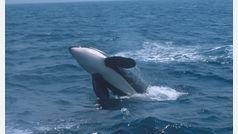 ¿Por qué están desapareciendo las orcas asesinas?