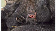 Nacen dos mellizos de chimpancé en el Bioparc de Valencia