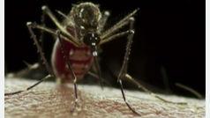¿Por qué algunos mosquitos pican a algunas personas y a otras no?