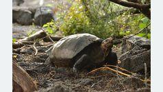 Aparece una tortuga que se creía extinta desde hace 100 años