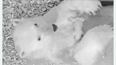 El zoo de Berlín se centra en que Fluffy sobreviva