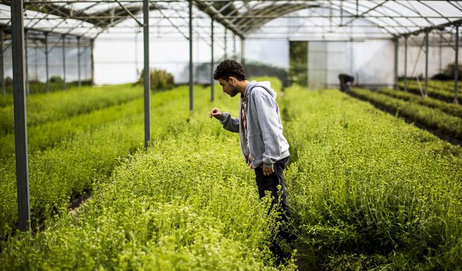 Stevia, el edulcorante verde más perseguido