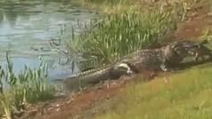 Un cocodrilo devora a una tortuga en pleno campo de golf
