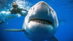Espeluznante: Tocan con la mano a 'Deep Blue', el tiburón blanco más grande jamás filmado
