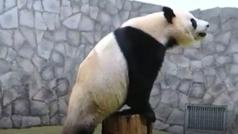 El oso panda gigante del zoológico de Moscú anima a los rusos a hacer deporte en casa