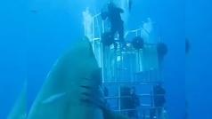 Un grupo de buzos graba al mayor tiburón blanco visto hasta ahora