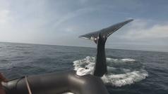 Una ballena jorobada golpea un bote inflable en Canadá