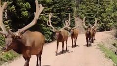 Unos ciclistas se quedan petrificados al  toparse con una manada de imponentes ciervos
