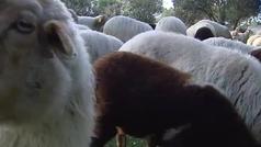 300 ovejas limpiarán la Casa de Campo de Madrid