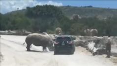 MX Un rinoceronte causa el pánico de una familia en un safari en Puebla