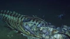 Un vídeo increíble: pulpos necrófagos comiéndose a una ballena de cinco metros