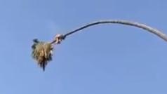 Una palmera trata de catapultar a su podador por los aires