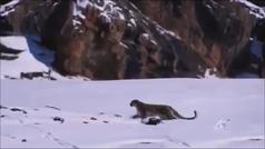 El increíble vídeo de un leopardo de las nieves cazando a su presa