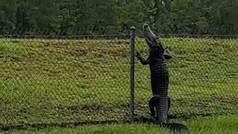 Graban a un cocodrilo escalando una valla para colarse en una base naval