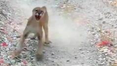 """Un puma acosa y persigue a un corredor durante seis minutos agónicos: """"¡Aquí es cuando muero!"""""""