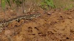 La pelea entre una serpiente y un perro que ha generado una gran polémica