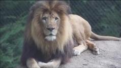 Una leona mata al padre de sus cachorros en un zoo de EE.UU.