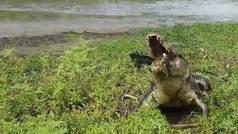 Terror en el río: Un cocodrilo monstruoso sorprende a dos pescadores y les roba su presa